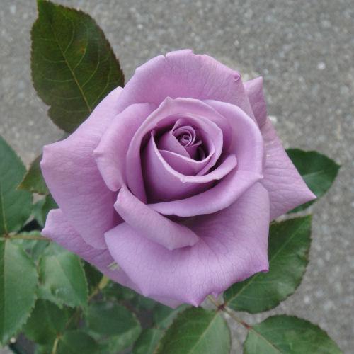 blue_rose2010-6.jpg